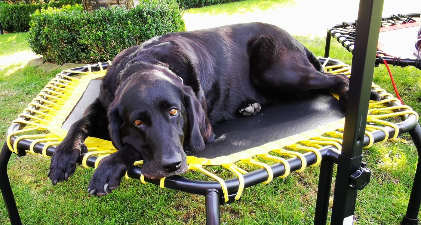 Hund auf Trampolin